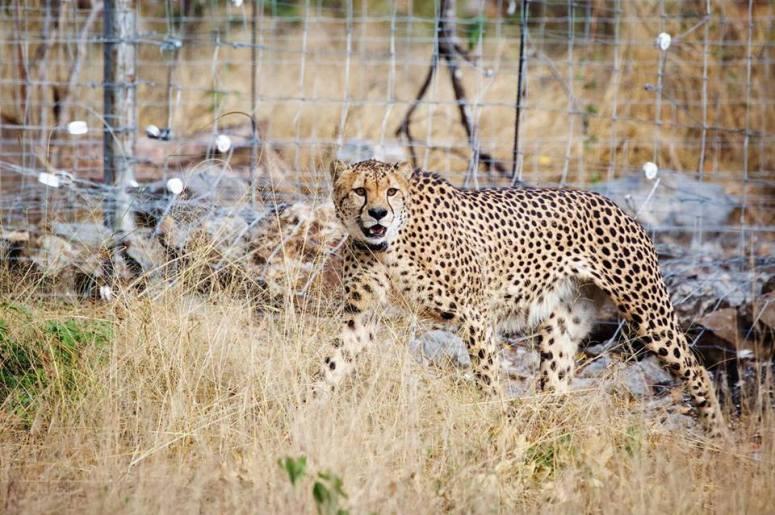 cheetah main