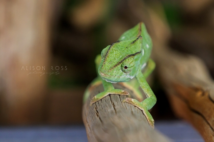 Chameleon-4609