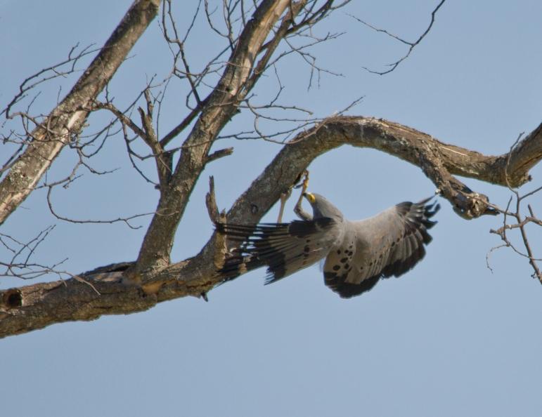 HarrierHawk
