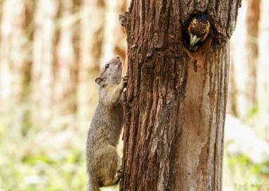 SquirrelVsBarbet