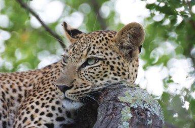 marataba-safari-lodge-leopard-590x390