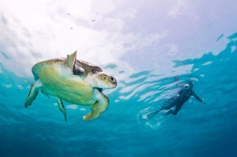 africa_south_africa_kruger_safari_mozambique__gallery_diver_turtle